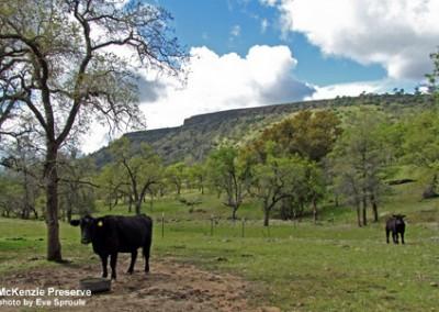 mck-cow-table-esproule-120318